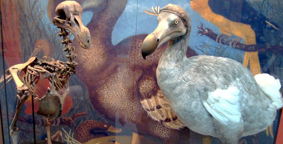 هل تعرف أنّ طائر الدودو ذكيّ كالحمام؟