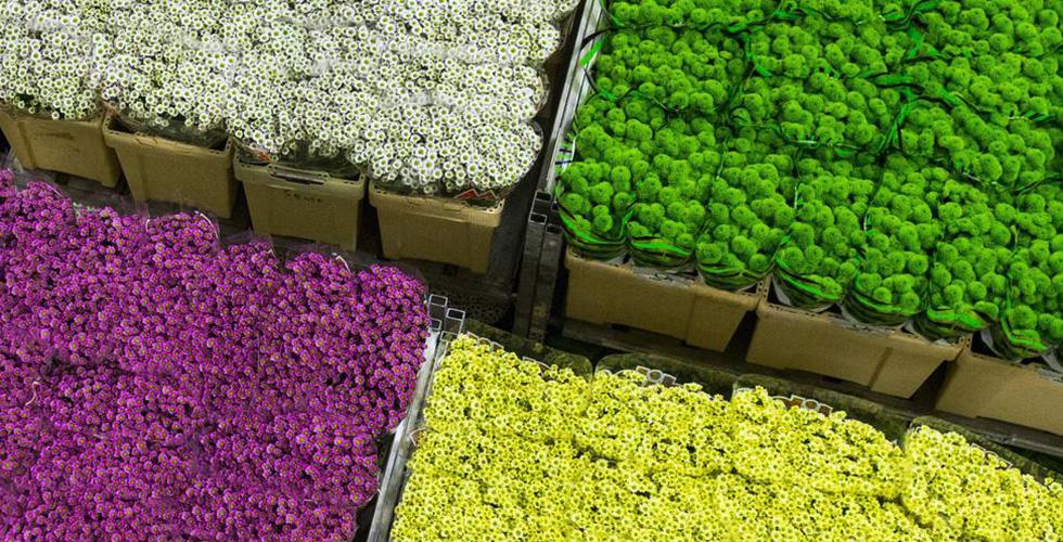 التوليب الهولندي تزاحمه الازهار الأفريقية