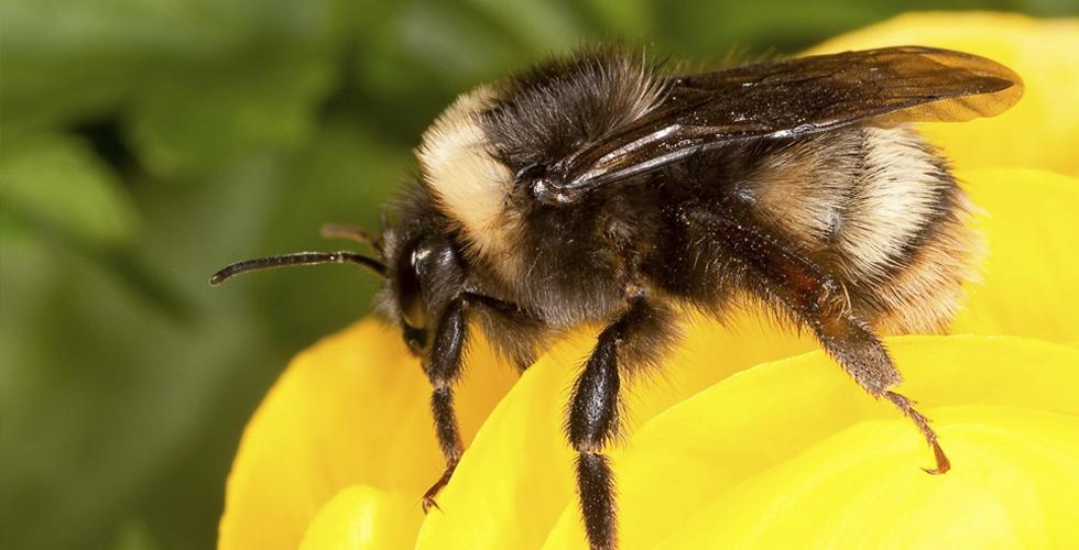 مزيدٌ من النحل المعرّض للانقراض
