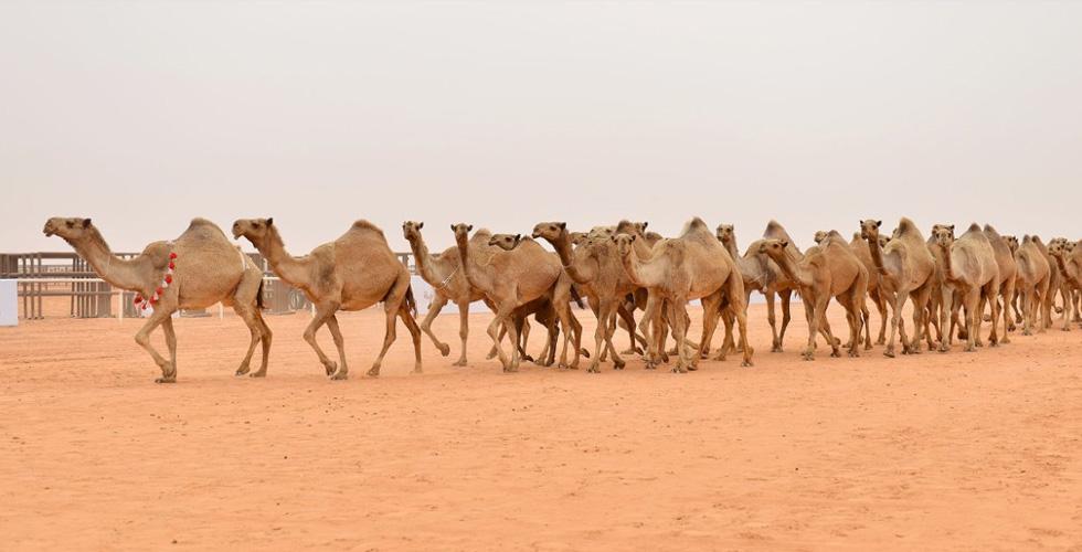 الإبل في مهرجان الملك عبد العزيز