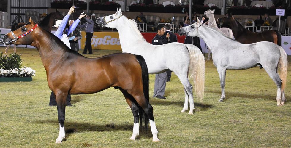 بطولةٌ لجمال الخيول العربية في السعودية