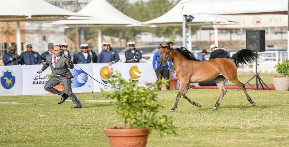 النتائج الأولى لجمال الخيول العربية في البحرين