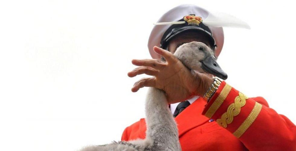 الملكة اليزابيت تُحصي البجع الذي تملكه في نهر التيمز