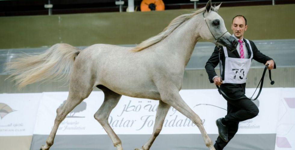 نتائج بطولة قطر لجمال الخيول العربية