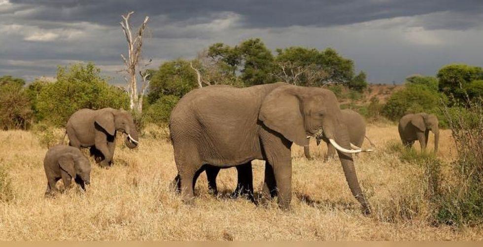 تنزانيا تكافح فيرتفع عدد الفيلة ووحيد القرن