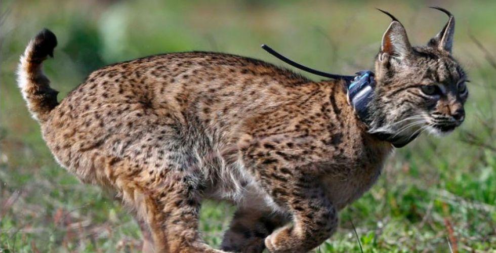 القط البري قد ينجو من الانقراض