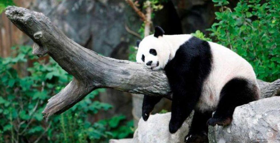 الولادة المستغربة للباندا مي شيانغ
