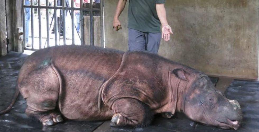 انقراض سلالة وحيد القرن السومطري