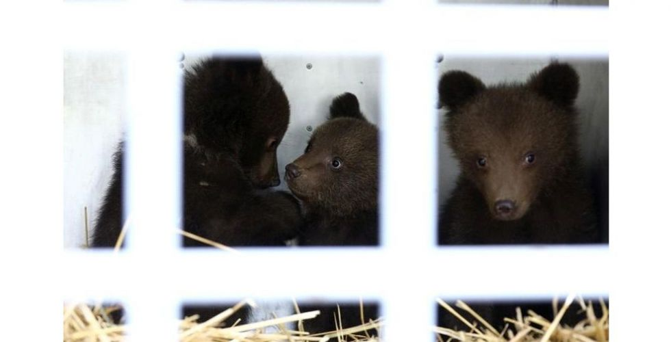 هل تعود الدببة البنية الى غابات بلغاريا؟
