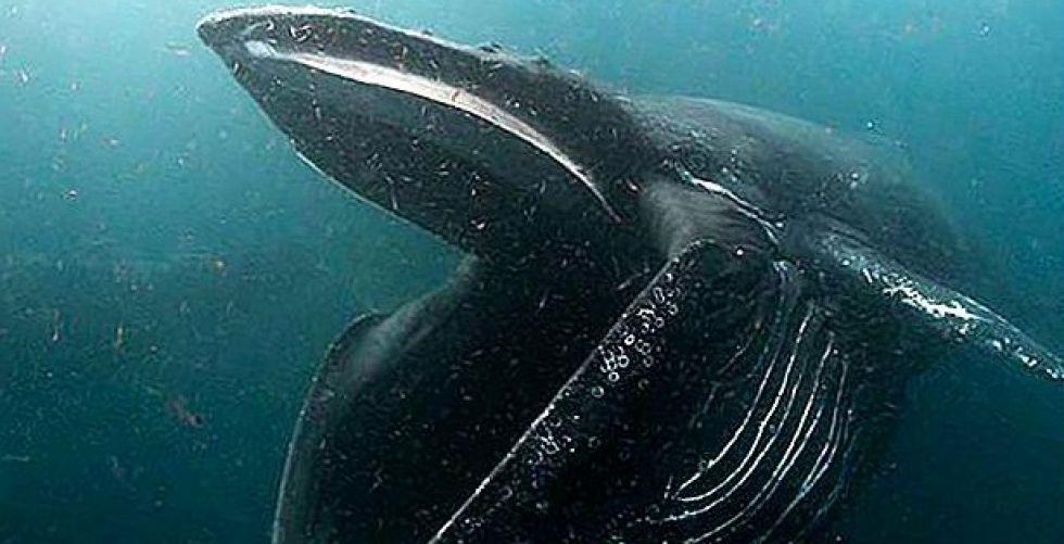 حين يشاهد الانجليز الحوت الأحدب في لندن