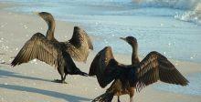 لبقاء اسماك السلمون الاميركيون يعدمون طيور الغاق