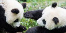 الباندا العملاقة تُنجب صغيرين