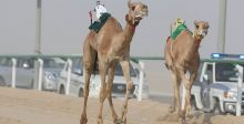 مطايا الامارات تتقدّم الهجن الخليجي