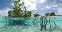 أشجار القرم في الامارات ثروة نادرة