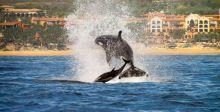 لوس كابوس: رحلة مع الحيتان