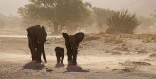 فيلة صحراء مالي الى انقراض