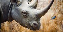 هل تشفي  قرون وحيد القرن من السرطان؟