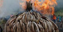 الرئيس الكيني يحرق العاج