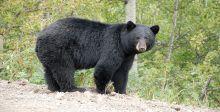 الدب الاسود يهاجم نائما