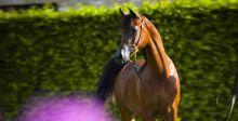 الخيول العربية الاجمل في بروج