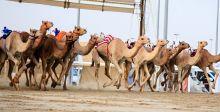 سباق قطر للهجن العربية الاصيلة