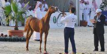 السعودية والخيل العربية الاصيلة