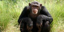 من قال ان الشمبانزي لا يفكر كالبشر؟