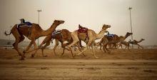 سباقات الهجن في الشيحانية القطرية