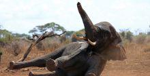 هل تتعايش الفيلة مع البشر؟