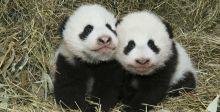 أسماء أسطورية لتوأمي الباندا
