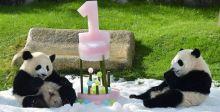 توأما الباندا سعيدان في عيد ميلادهما
