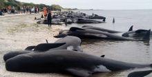 المد والجزر يعيق انقاذ الحيتان في نيوزيلندا
