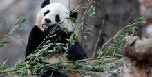 الباندا باو باو تغادر الى الصين