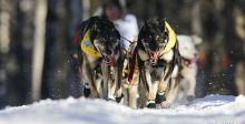 سباق التزلج بالكلاب في ألاسكا
