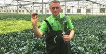 زراعة الكرنب الأجعد المائي في الامارات