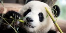 هل تشفي ممارسة الجنس الباندا منغ منغ ؟