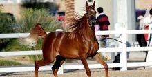 جمال الخيول العربية الأصيلة في الشارقة