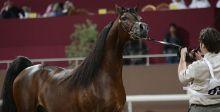 بطولة قطر لجمال الخيول العربية