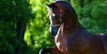 جمال الخيول العربية في بطولة الكويت