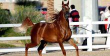 بطولة دبي الدولية لجمال الخيل العربية الأصيلة 2018