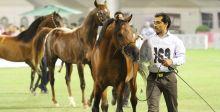 من يفوز ببطولة جمال الخيل العربي في الاحساء؟