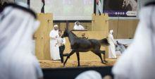 مزاد لؤلؤة دبي للخيل يحصد الملايين