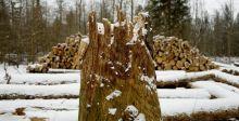 الشجرةُ عزيزةٌ في أوروبا لذلك أدينت بولندا