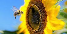 ومن النيكوتين ما يقتل النحل
