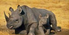 وحيد القرن الأسود النادر يتعافى