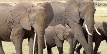 اجتماع دوليّ للبحث في مصير قرش الماكو والفيل الافريقي