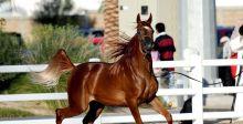 جمال الخيل العربي في الرياض وعجمان