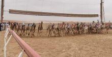 الامارات تهتم بسباقات الهجن العربية الأصيلة