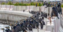 طائر الغاق عل الشاطئ الاماراتي