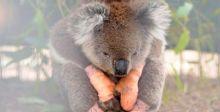 ثلاثة مليارات من الحيوانات المتنوعة ضحية حرائق استراليا